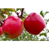 Tüplü Yarıbodur Pink Lady Elma Fidanı(Anaç mm106)