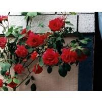 Tüplü Yediveren Kırmızı Sarmaşık Gül Fidanı