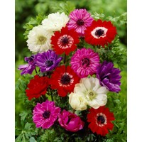 Coronaria St. Brigid Mix Anemon Çiçeği Soğanı (5 soğan)