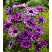 Anemone Admiral Menekşe Renkli Anemon Çiçeği Soğanı (5 soğan)