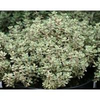 Limon Kokulu Yeşil Beyaz Kekik Fidesi (Thymus citriodorus 'Silver Queen')(5 adet Fide)