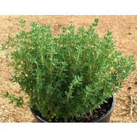 Koyu Yeşil Dik Gelişen Kekik Fidesi(Thymus vulgaris Fredo) (5 Fide)