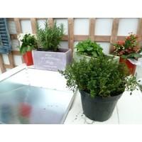 Thymus Citriodorus Limone Saksılık Kekik Fidesi (5 adet)