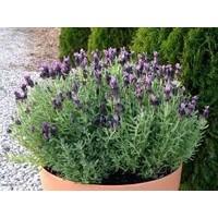 Saksılık Bella Purple Lavanta Fidesi(5 adet)