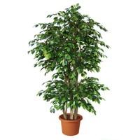 Yeşil Deniz Fidancılık Ficus (Kauçuk)