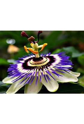 Tohhum Passiflora* 5 Adet Tohum+Saksı+Toprak [Tohhum Ev Bahçe]