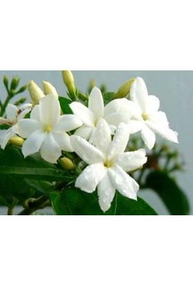 Rhyncospermum jasminoides Arap Yasemin Fidanı Saksıda