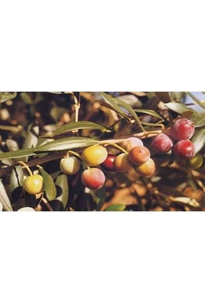 Tüplü Bodur Meyve Verme Durumunda ARBEQUINA Zeytin Fidanı 150 cm(15 litre saksılı)