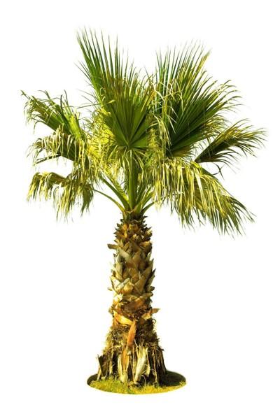 Palmiye ( Saksıda ) Chamaerops Washingtonia (Büyük Boy)