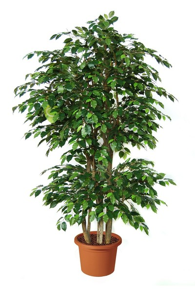 Yeşil Deniz Fidancılık Ficus (Benjamin)