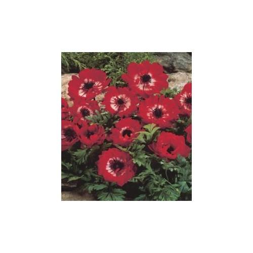 Anemone The Governor Kırmızı Anemon Çiçeği Soğanı (5 soğan)