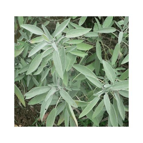 Tüplü Geniş Yapraklı Salvia Culinaria Adaçayı Fidanı