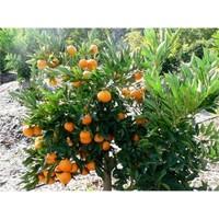Karadeniz Fidancılık Satsuma Mandalina Küçük Boy Tüplü Aşılı Meyve Fidanı