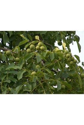 Karadeniz Fidancılık Frenguette Ceviz Tüplü Aşılı Meyve Fidanı
