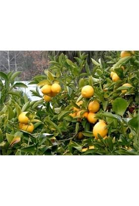 Karadeniz Fidancılık Yediveren Limon Küçük Boy Tüplü Aşılı Meyve Fidanı
