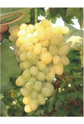 Karadeniz Fidancılık Beyaz Üzüm Açık Köklü Aşılı Meyve Fidanı