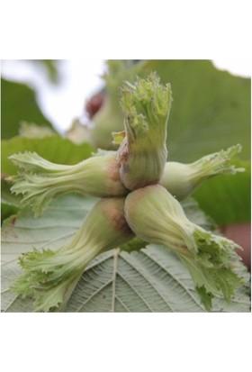 Karadeniz Fidancılık Çakıldak Fındık Açık Köklü Aşılı Meyve Fidanı