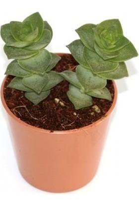 Greenmall Crassula Lactea