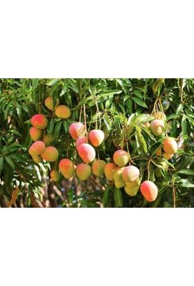 Plantistanbul Mango Fidanı, Tüplü