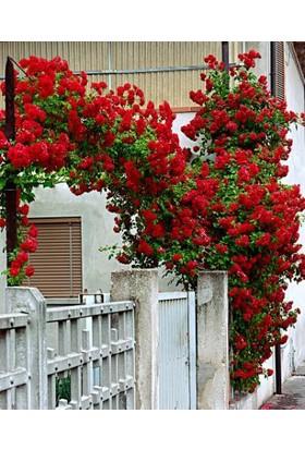 Plantistanbul Sarmaşık Kırmızı Gül, Büyük Yaş, Saksıda