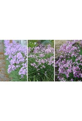 Plantistanbul Sarımsak Çiçeği, Saksıda