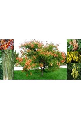 Plantistanbul Üvey Kandili, Fener Ağacı, +120 Cm, +4 Yaş, Saksıda