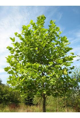 Plantistanbul Platanus Acerifolia Londra Çınarı +100 Cm, Saksıda