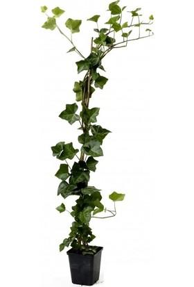 Plantistanbul Hedera Helix Orman Duvar Sarmaşığı Fidanı Büyük Düz Yapraklı, Saksıda