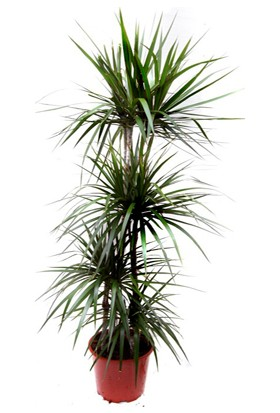 Plantistanbul 3'lü Dracena Marginata +120 cm Saksıda