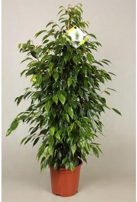 Plantistanbul Ficus Anastasia, Saksıda
