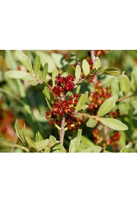Plantistanbul Sakız Ağacı Dişi, Saksıda
