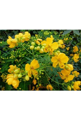 Plantistanbul Sinameki Bitkisi, Saksıda