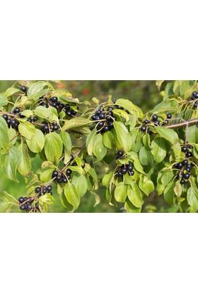 Plantistanbul Rhamnus Catharticus Çehri, Saksıda
