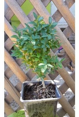 Plantistanbul Hediyelik Şimşir Fidanı 7-15 Cm, 10 Adet