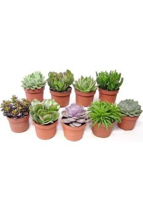 Plantistanbul Hediyelik Sukkulent-Kaktüs Çeşitleri, 10 Adet