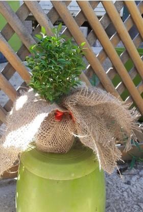 Plantistanbul Hediyelik Şimşir Fidanı 7-15 Cm Süslenmiş 10 Adet
