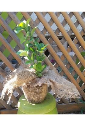 Plantistanbul Hediyelik Taflan Fidanı 7-15 Cm Süslenmiş 10 Adet