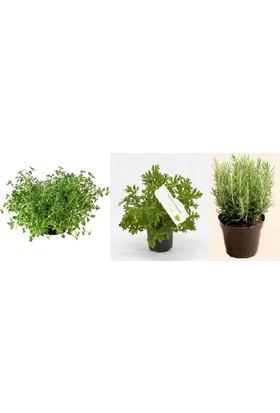 Plantistanbul Kekik-Itır-Biberiye Paket Fidan