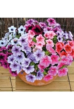 Plantistanbul Bodur Petunya Çiçeği Karışık Renk Çiçek Tohumu +-800 Adet