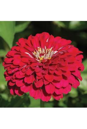 Plantistanbul Zinnia (Kirli Hanım Çiçeği) Kırmızı Renk Çiçek Tohumu +-40 Adet