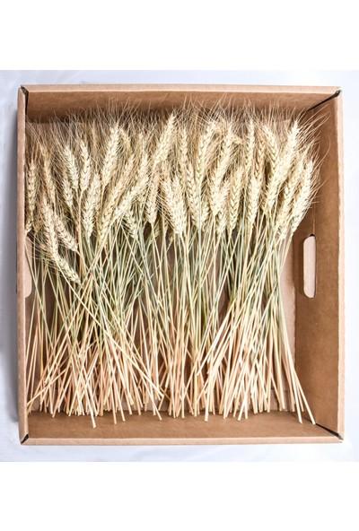 Dekonatur Buğday Başak - Karton Kutu Ambalajlı