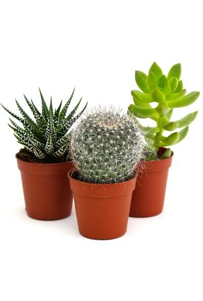 Greenmall 2 Adet Sukulent + 1 Adet Çiçek Açan Kaktüs