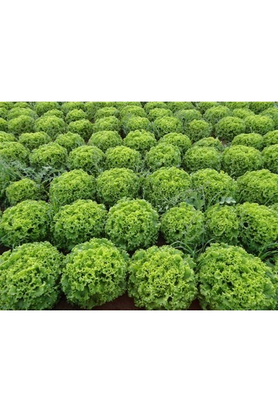 Plantistanbul Marul Kışlık Kıvırcık Tohumu Paket 10 Gr.