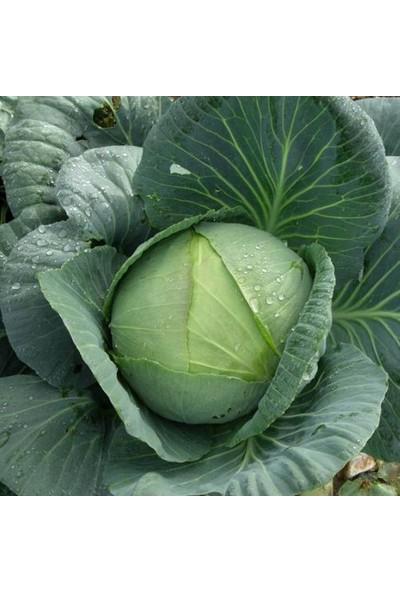 Plantistanbul Beyaz Lahana Yalova Sarmalık Tohumu Paket 10 Gr.