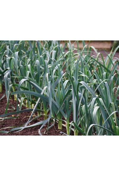 Plantistanbul Pırasa İnegöl Tohumu Paket 10 Gr.
