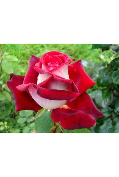 Plantistanbul Rosa Osiria Alyans Gülü, Saksıda