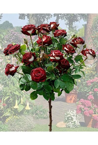 Plantistanbul Aşılı Baston Gül Rosa Osiria Alyans Gülü, Saksıda