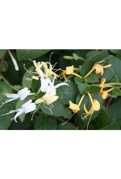 Plantistanbul Lonicera Japonica Hanımeli Fidanı, 80-100 Cm, Saksıda