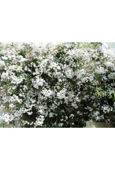 Plantistanbul Beyaz İzmir Yasemini Fidanı, Saksıda