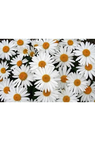 Plantistanbul Papatya Beyaz Renk Çiçek Tohumu +- 300 Adet